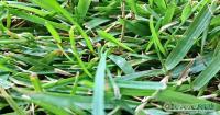 Prato di Zoysia Japonica in rotoli - Produttori di tappeto erboso in zolle Roma - TeverePrati