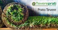 Prato pronto a rotoli Tevere per tappeti erbosi ornamentali, verde pubblico e privato.